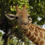 giraffa luca barberis