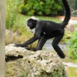 scimmia luca barberis